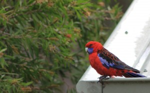 red rosella roof 1